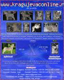Sibirski Haski štenad kvalitetnih kombinacija izložbenog pot